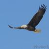 Bald Eagle <br /> Mississippi River <br /> Riverlands Migratory Bird Sanctuary