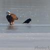 Bald Eagle <br /> Portage Des Sioux