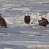 Bald Eagles <br /> Mississippi River <br /> Riverlands Migratory Bird Sanctuary