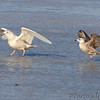 Glaucous Gull and Heron Gull <br /> Ellis Bay <br /> Riverlands Migratory Bird Sanctuary