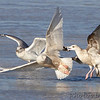 Glaucous Gull and Ring-billed Gulls <br /> Ellis Bay <br /> Riverlands Migratory Bird Sanctuary