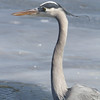 Great Blue Heron  <br /> Mississippi River <br /> Riverlands Migratory Bird Sanctuary