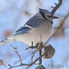 Blue Jay<br /> City of Bridgeton <br /> St. Louis County, Missouri<br /> 2014-01-06 10:14:52 am