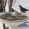 European Starlings <br /> City of Bridgeton <br /> St. Louis County, Missouri<br /> 2014-01-06