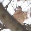 Cooper's Hawk <br /> City of Bridgeton <br /> St. Louis County, Missouri <br /> 2014-01-07