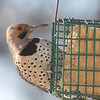 Northern Flicker <br /> City of Bridgeton <br /> St. Louis County, Missouri<br /> 2014-01-05