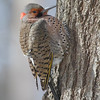 Northern Flicker <br /> City of Bridgeton <br /> St. Louis County, Missouri<br /> 2014-01-23