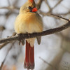 Northern Cardinal <br /> City of Bridgeton <br /> St. Louis County, Missouri<br /> 2014-01-23