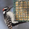 Hairy Woodpecker<br /> City of Bridgeton <br /> St. Louis County, Missouri<br /> 2014-01-06 10:20:29