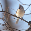 Tufted Titmouse <br /> City of Bridgeton <br /> St. Louis County, Missouri <br /> 2014-01-05