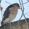 Cooper's Hawk <br /> City of Bridgeton <br /> St. Louis County, Missouri  <br /> 2014-01-21