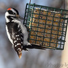 Hairy Woodpecker<br /> City of Bridgeton <br /> St. Louis County, Missouri<br /> 2014-01-06 10:21:35 am