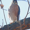 Cooper's Hawk <br /> City of Bridgeton <br /> St. Louis County, Missouri <br /> 2014-01-15