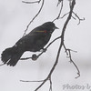 Red-winged Blackbird<br /> City of Bridgeton <br /> St. Louis County, Missouri<br /> 2014-01-06