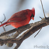 Northern Cardinal<br /> City of Bridgeton <br /> St. Louis County, Missouri<br /> 2014-01-02