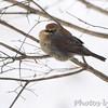 Rusty Blackbird <br /> City of Bridgeton <br /> St. Louis County, Missouri <br /> 2014-01-07