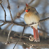 Northern Cardinal <br /> City of Bridgeton <br /> St. Louis County, Missouri<br /> 2014-01-06
