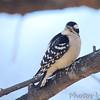 Downy Woodpecker<br /> City of Bridgeton <br /> St. Louis County, Missouri<br /> 2014-01-27