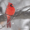 Northern Cardinal <br /> City of Bridgeton <br /> St. Louis County, Missouri<br /> 2014-01-05