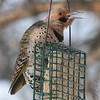 Northern Flicker <br /> City of Bridgeton <br /> St. Louis County, Missouri<br /> 2014-01-06
