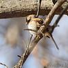 White-throated Sparrow <br /> City of Bridgeton <br /> St. Louis County, Missouri <br /> 2014-01-27