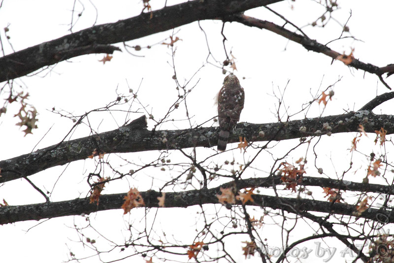 Cooper's Hawk <br /> City of Bridgeton <br /> St. Louis County, Missouri  <br /> 2014-01-17