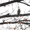 Cooper's Hawk <br /> City of Bridgeton <br /> St. Louis County, Missouri  <br /> 2014-01-17