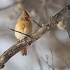 Northern Cardinal <br /> City of Bridgeton <br /> St. Louis County, Missouri <br /> 2014-01-02