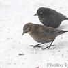 Rusty Blackbirds <br /> City of Bridgeton <br /> St. Louis County, Missouri <br /> 2014-01-07