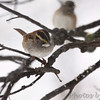 White-throated Sparrow <br /> City of Bridgeton <br /> St. Louis County, Missouri <br /> 2014-01-05