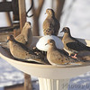 Mourning Doves <br /> Waiting for us to add some water, at least it's warmer there. <br /> City of Bridgeton <br /> St. Louis County, Missouri <br /> 2014-01-04