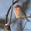 House Finch <br /> City of Bridgeton <br /> St. Louis County, Missouri<br /> 2014-01-02