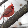 Northern Cardinal <br /> City of Bridgeton <br /> St. Louis County, Missouri<br /> 2014-01-18
