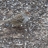 White-crowned Sparrow <br /> City of Bridgeton <br /> St. Louis County, Missouri<br /> 2014-01-18