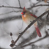 Northern Cardinal<br /> City of Bridgeton <br /> St. Louis County, Missouri<br /> 2014-01-05