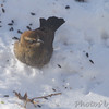 Rusty Blackbird <br /> City of Bridgeton <br /> St. Louis County, Missouri <br /> 2014-01-06