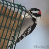 Hairy Woodpecker<br /> City of Bridgeton <br /> St. Louis County, Missouri<br /> 2014-01-02