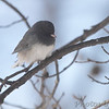 Dark-eyed Junco <br /> City of Bridgeton <br /> St. Louis County, Missouri <br /> 2014-01-06