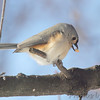 Tufted Titmouse <br /> City of Bridgeton <br /> St. Louis County, Missouri <br /> 2014-01-06
