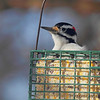 Hairy Woodpecker<br /> City of Bridgeton <br /> St. Louis County, Missouri<br /> 2014-01-06