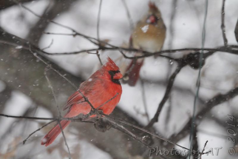 Northern Cardinal <br /> City of Bridgeton <br /> St. Louis County, Missouri<br /> 2014-01-05