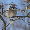 Blue Jay<br /> City of Bridgeton <br /> St. Louis County, Missouri<br /> 2014-01-06