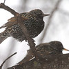European Starling <br /> City of Bridgeton <br /> St. Louis County, Missouri<br /> 2014-01-05