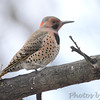 Northern Flicker <br /> City of Bridgeton <br /> St. Louis County, Missouri<br /> 2014-01-18