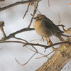 Brown-headed Cowbird <br /> City of Bridgeton <br /> St. Louis County, Missouri<br /> 2014-01-07