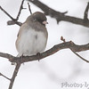 Dark-eyed Junco <br /> City of Bridgeton <br /> St. Louis County, Missouri <br /> 2014-01-05