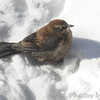 Rusty Blackbird <br /> City of Bridgeton <br /> St. Louis County, Missouri <br /> 2014-01-06 10:04:49 am