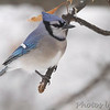 Blue Jay <br /> City of Bridgeton <br /> St. Louis County, Missouri <br /> 2014-01-09