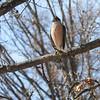 Cooper's Hawk <br /> City of Bridgeton <br /> St. Louis County, Missouri  <br /> 2014-01-26