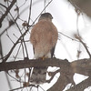 Cooper's Hawk<br /> City of Bridgeton <br /> St. Louis County, Missouri<br /> 2014-01-07